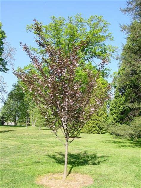 cherry tree zone 9b prunus serrulata royal burgundy royal burgundy flowering cherry plant lust