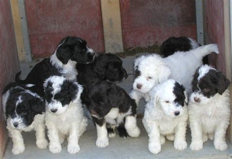 pwd puppies puppy breeds pictures