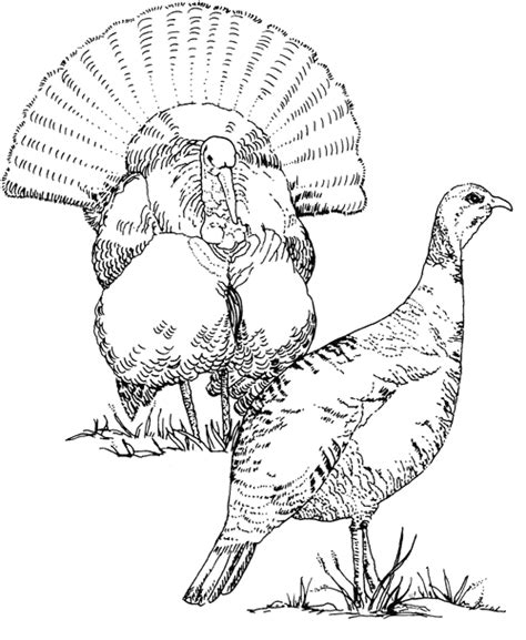 turkey hunting coloring page pheasant hunting coloring pages coloring pages