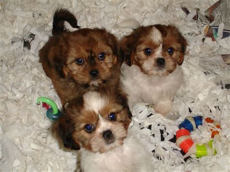 cavalier x shih tzu puppies for sale cava tzu puppies x cavalier shih tzu manchester greater manchester pets4homes