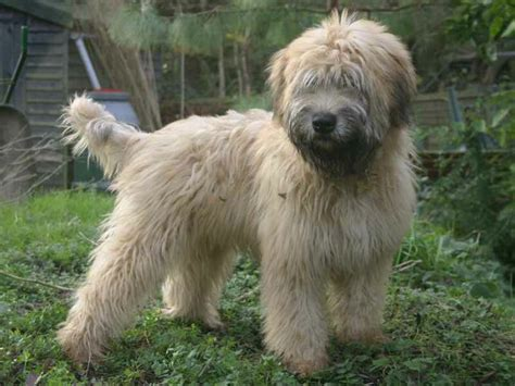 Wheaten Terrier Shedding by 17 Best Images About Wheaten Terrier Kerry Blue Terrier