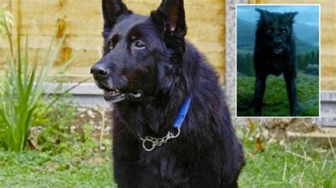 berry the black german shepherd adopt the harry potter sirius padfoot black