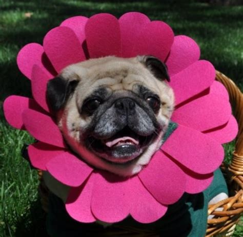 puddin the pug community happy day of from puddin the pug