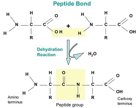 diagram of peptide bond biol 2430 chapt 6 notes