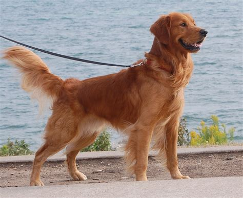 high times golden retrievers glenbrier golden retrievers michigan