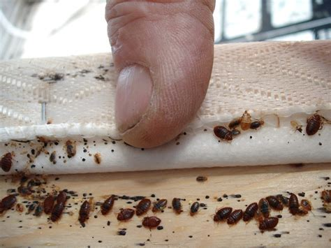 100% Effective Bed Bug Treatment Found in MA   Networx