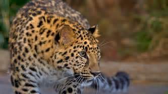 pitchers of animals leopard san diego zoo animals plants
