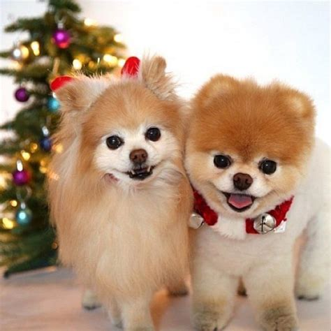 boo the dog christmas 17 best images about boo buddy the pomeranians on angry cutest dogs and harp