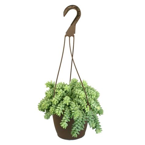 Home Depot Hanging Ls by 6 In Assorted Tails Hanging Basket Plant 0881003