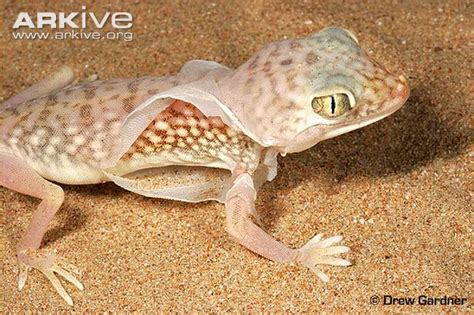 Gecko Skin Shedding middle eastern fingered gecko photo stenodactylus