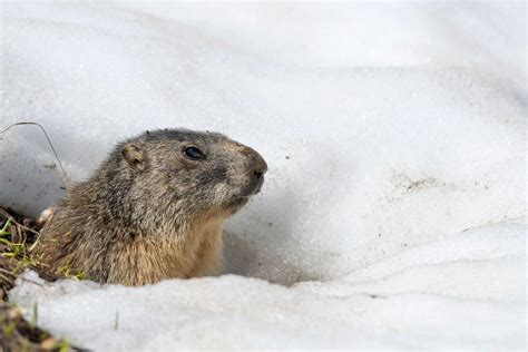 groundhog day information 9 adorable groundhog day facts reader s digest