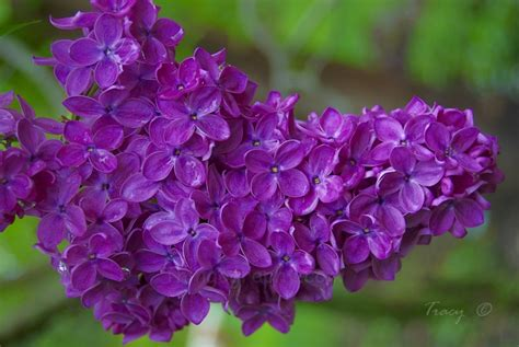 purple lilacs purple lilac 28 images purple lilac picture purple