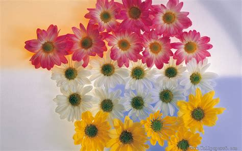 yellow and pink sunflowers flower pink and and yellow sunflowers flower wallpapers