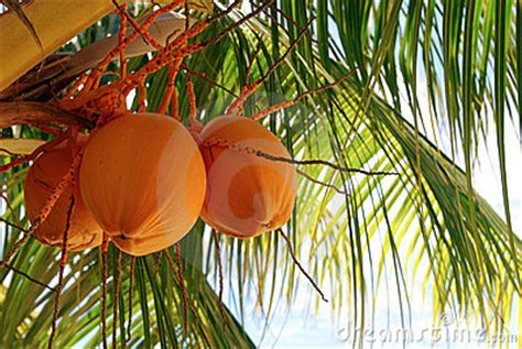 Coconut Monkey Fruit Forks Orange orange coconut tree stock photos image 14943213