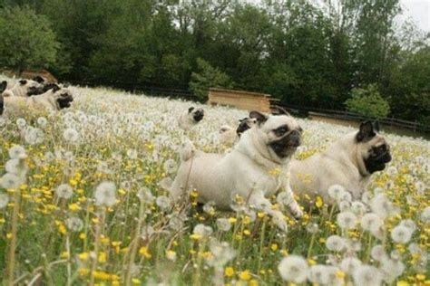 pugs running pin by martens on pugs just wanna the o jays pug and