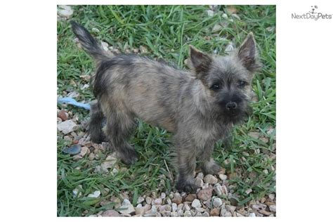akc cairn terrier puppies for sale cairn terrier for sale for 650 near springfield missouri 7fb5b51a 62f1