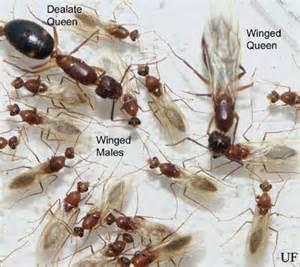 Small Black Ants In Bathroom - florida carpenter ant camponotus floridanus buckley and camponotus tortuganus emery
