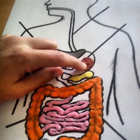 maqueta de sistema digestivo en plastilina aparell digestiu amb plastilina medi cos hum 192