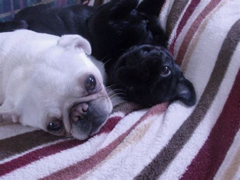 white and black pug white and black pugs for chelsea