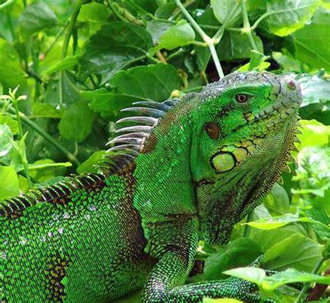imagenes iguanas verdes fotos de iguanas pictures