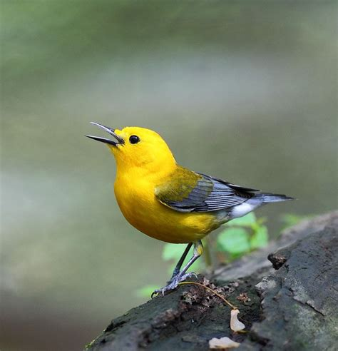 Prothonotary Search Prothonotary Warbler Nature Birds Warblers