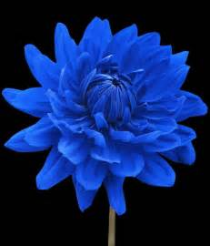 quot blue dahlia flower black background quot by natalie kinnear