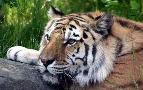 animal planter animal planet tigris k 233 p
