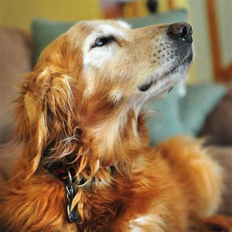 oldest golden retriever record dines out on owner s dollars world news express co uk