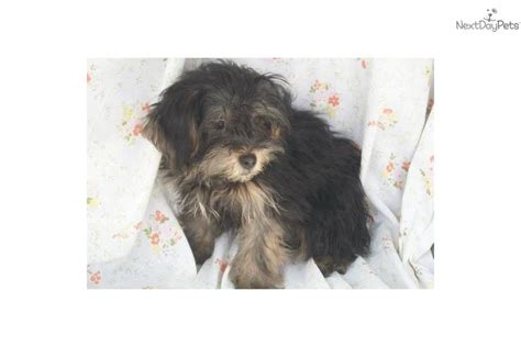 yorkie poo puppies for adoption yorkiepoo yorkie poo puppy for adoption near 5156f33f 65f2