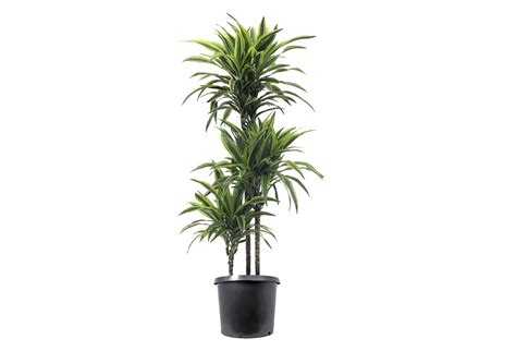 dracaena fragrans dracaena fragrans lemon lime urban planters