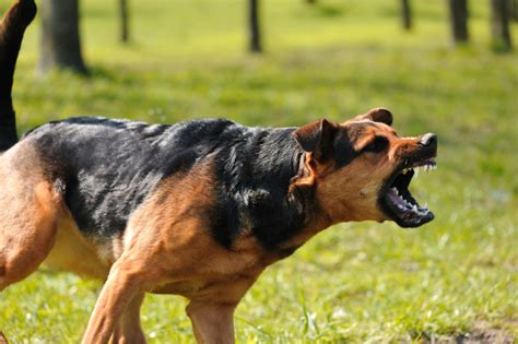 aggression towards aggression toward k9 trainer school