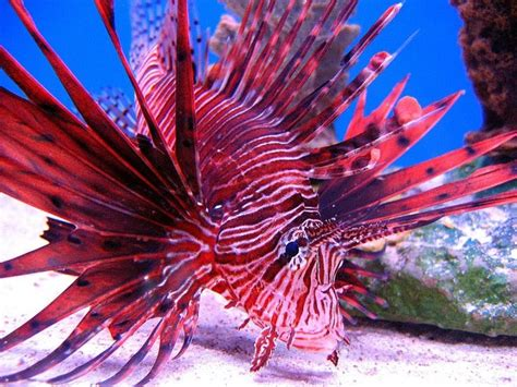 Kaosbajutshirt Salt Zone Fish invasive lionfish is ridding the caribbean of one of its newest species of fish just discovered