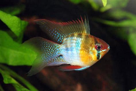 alimentazione pesci mikrogeophagus ramirezi acquario alimentazione biotopo