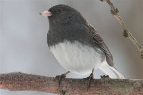slate colored junco pictures of juncos photo gallery