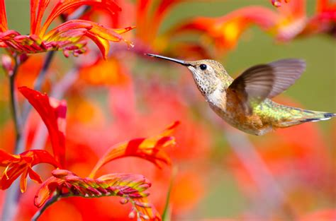 attracting hummingbirds to the flower garden