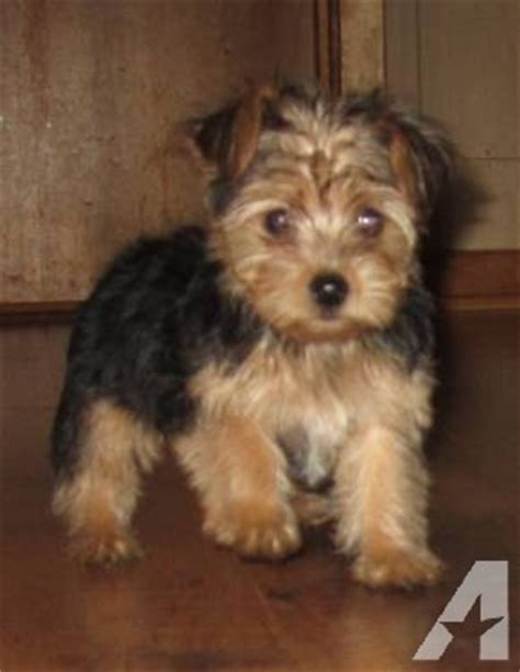 yorkie poo puppies for sale mn yorkie poo puppies for sale in janesville minnesota classified americanlisted