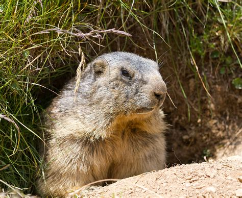 How To Keep Groundhogs Out Of Garden by Keep Groundhogs Out Of Garden Home Outdoor Decoration