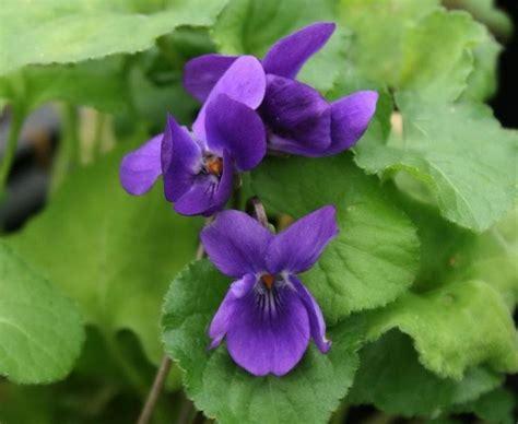 fiore viola fiore viola piante annuali la viola