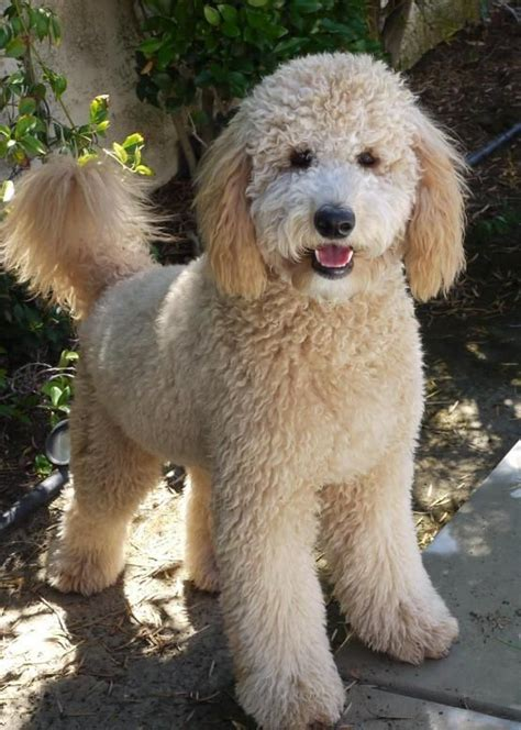 types of goldendoodle haircuts the 25 best goldendoodle haircuts ideas on pinterest