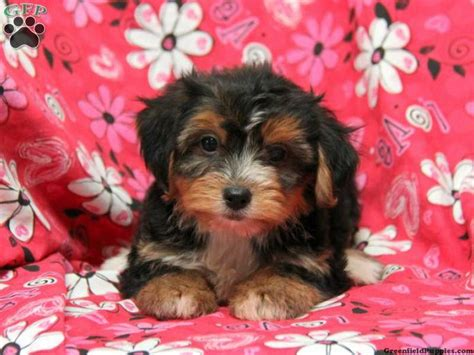 yorkie chon pin by greenfield puppies on yorkie chon