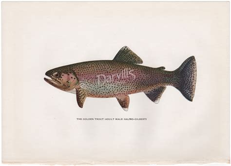 the speckled brook trout salvelinus fontinalis classic reprint books antique trout and fly fishing prints from trout fly