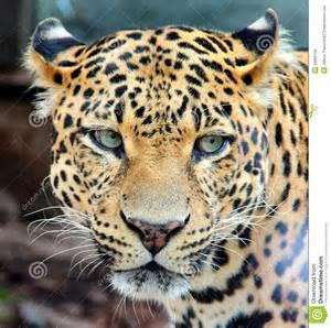 Leopard Panther Jaguar Leopard Jaguar Panther Royalty Free Stock Image Image