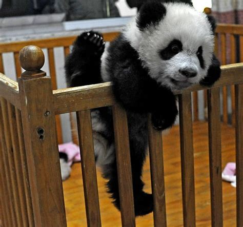 Baby Panda Climbing Out Of Crib free wallpapers baby panda pictures