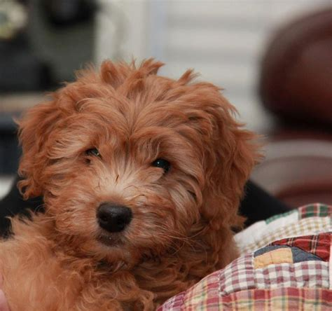 goldendoodle puppy drinks a lot of water 10 best images about puppies poodles dogs oh my