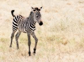 The Zebra Zebras Images Zebras Hd Wallpaper And Background Photos