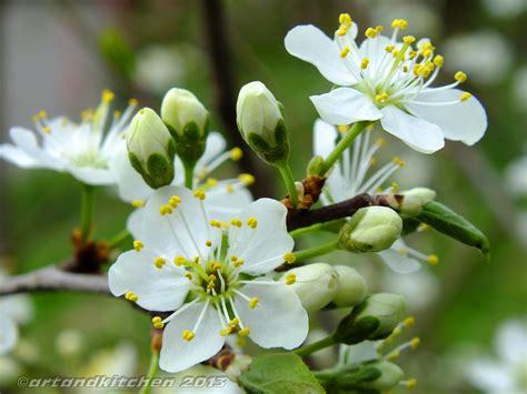 cherry flower artandkitchen