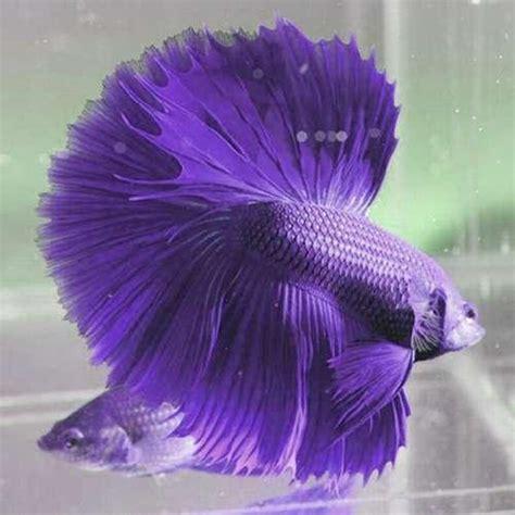 Makanan Ikan Cupang Selain Takari ikan aduan