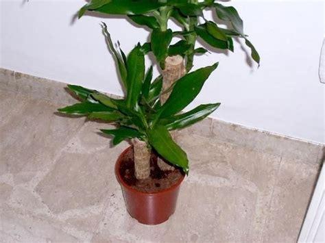 tronchetto pianta appartamento tronchetto della felicit 224 piante appartamento