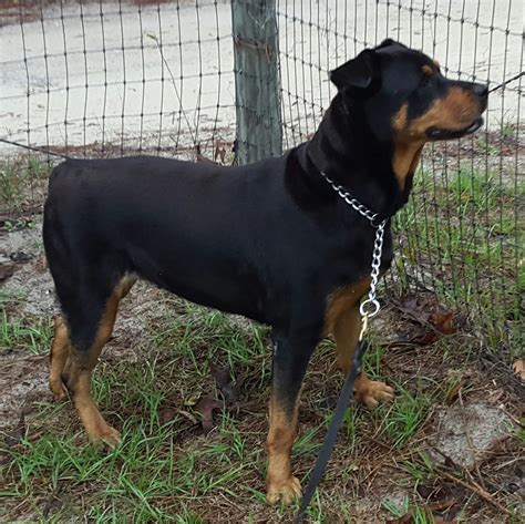 rottweiler rescue fl rottweiler rescue florida breeds picture
