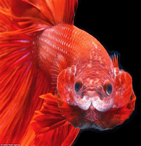 ikan laga aquarium photo terbaik ikan laga